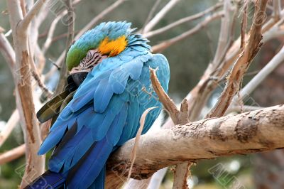 Blue And Gold Macaw 4807