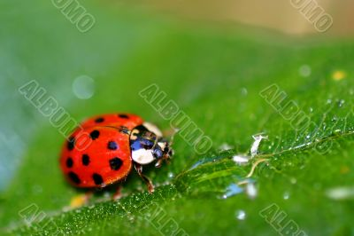 Lady Bug 6408