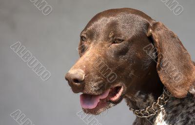 Hunter terrier