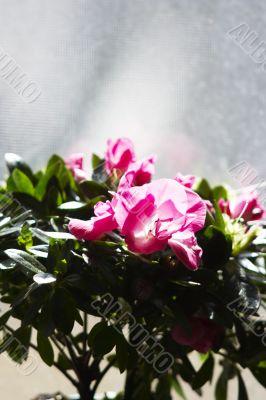 Purple flowers in sunshine at window