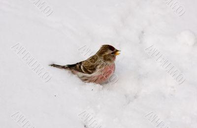 Singing redpoll