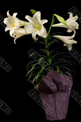Vertical Easter Lily