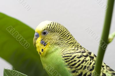 Macro close-up of classic green parakeet