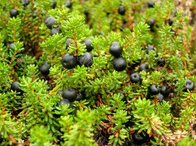 Black ripe wood berry