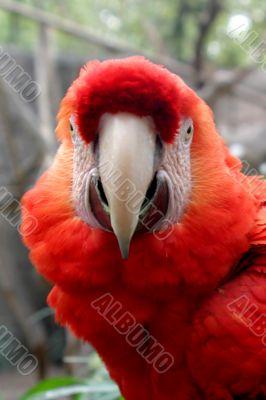 Scarlet Macaw 4853