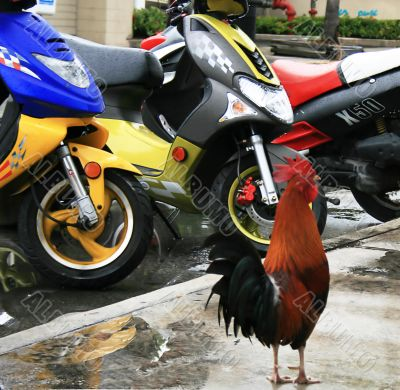 moto rooster