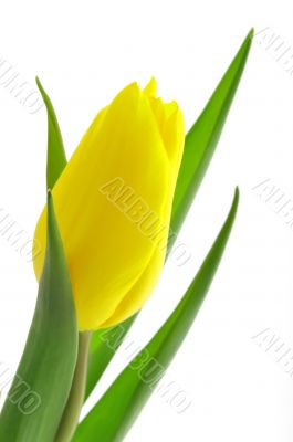 Nice, yellow closeup tulip