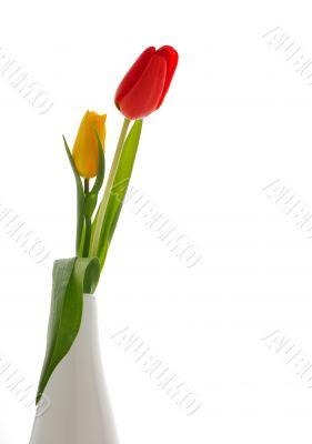 Nice tulips, background white