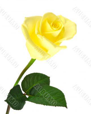 Nice yellow rose over white