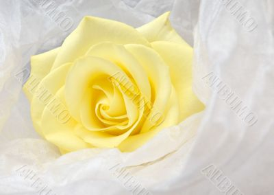 Nice yellow rose in white satin