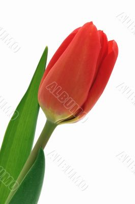Nice, red, closeup tulip isolated background