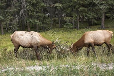 Struggle of deers.