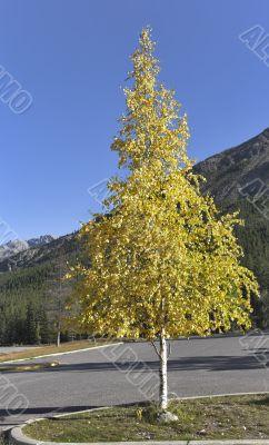 Graceful small tree.