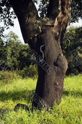 Cork tree forest  - Quercus suber