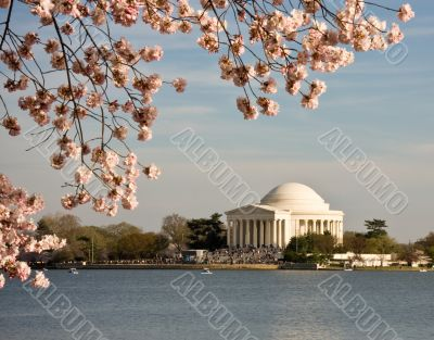 Cherry Blossom and Jefferson Monument