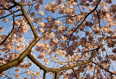 Cherry Blossom Close Up