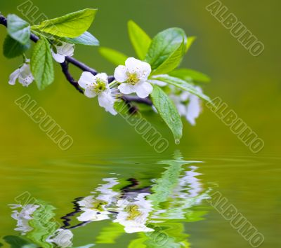 Tree branch with cherry flowers reflecting in the water