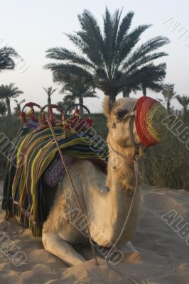 Arabian Camel Waiting on the next rider