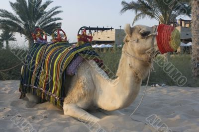 Arabian Camel waiting on the next desert ride