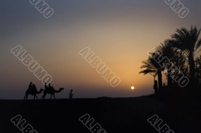 Camel Train at dusk with sun setting