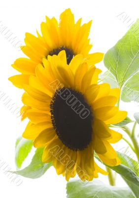 Colourful helianthus