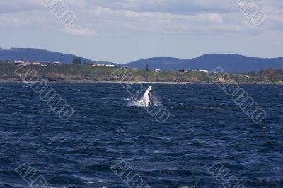 Humpback whale breaching in Australia