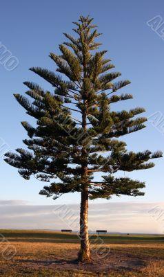 Pine tree against a deep blue sky