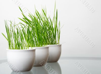 green grass in the white pots