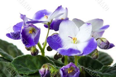 African violet. Saintpaulia.