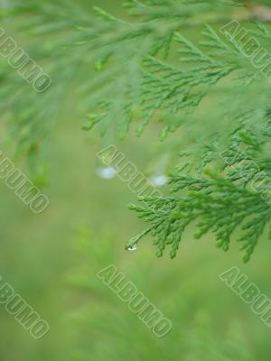 green conifer branch