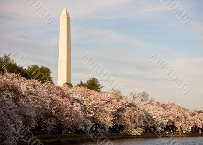 Washington Monument with cherry blossom