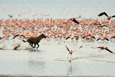 Hyena is hunting for flamingos