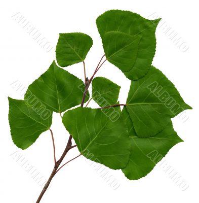 branch of a poplar