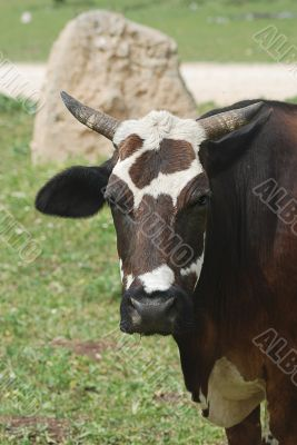 The horned cow