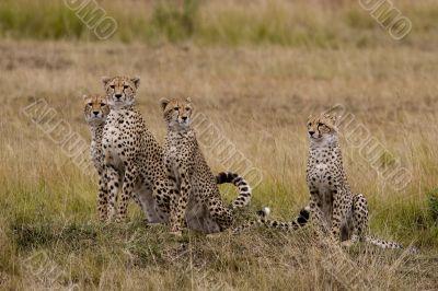 Cheetahs family