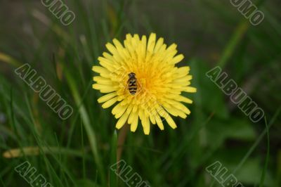 Small Wasp on a Dandilion