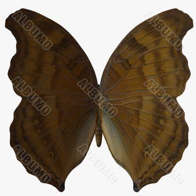 Butterfly-BeechWing