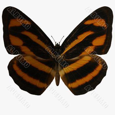 Butterfly-Burmese Lascar