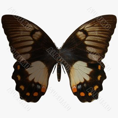 Butterfly-Orchard Swallow Tail