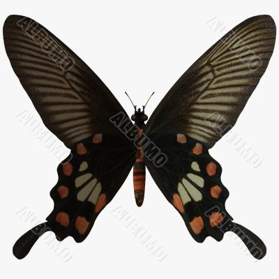 Butterfly-Rose Swallow Tail