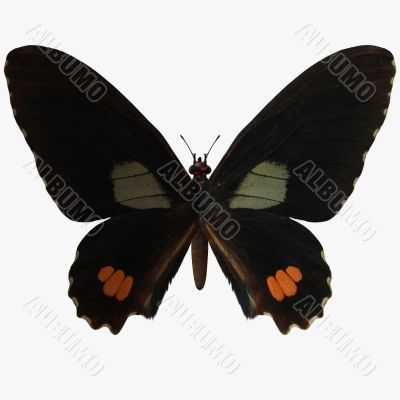 Butterfly-Ruby Swallow Tail