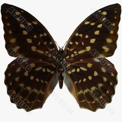 Butterfly-Speckled Hen