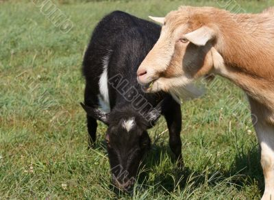 clover lunch for the goats
