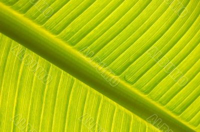 Banana tree leaf backlight