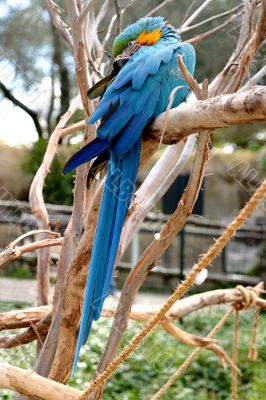 Blue And Gold Macaw 4808