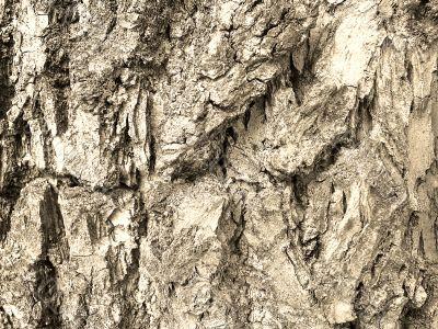 bark texture in sepia tone