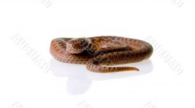 Snake Vipera Berus
