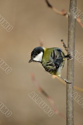 Tit sitting on a branch