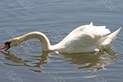 Swan on the River Feeding