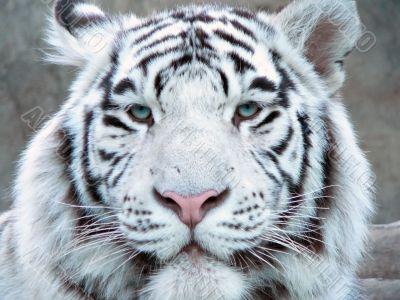albino tiger full face